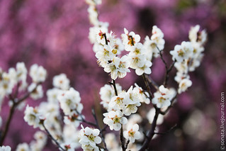 Blooming plum at Banpaku, Osaka | by Sob.natalia