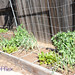 square foot garden 2013