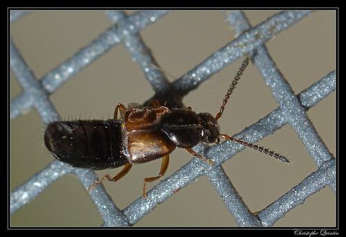 Staphylinidae/Aleocharinae
