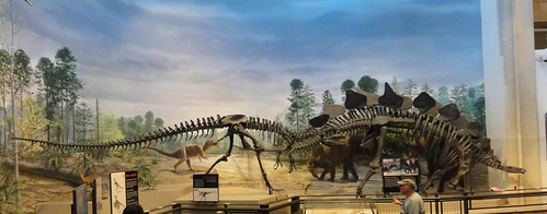 Image is a panorama of the main display in the dinosaur display room. An allosaurus skeleton comes running up behind a stegosaurus skeleton. A brightly-colored, feathered therapod dinosaur model is posed with its arms out between them. There is a painted mural of dinosaurs in the background.