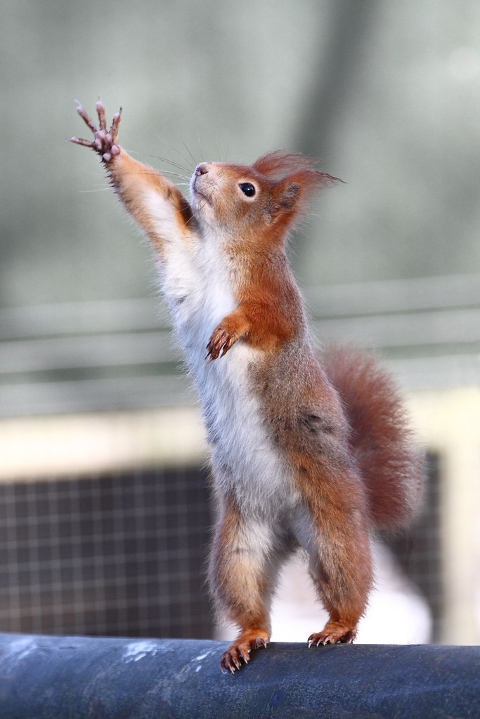 1000  images about Squirrel on Pinterest | Red squirrel, Baby ...