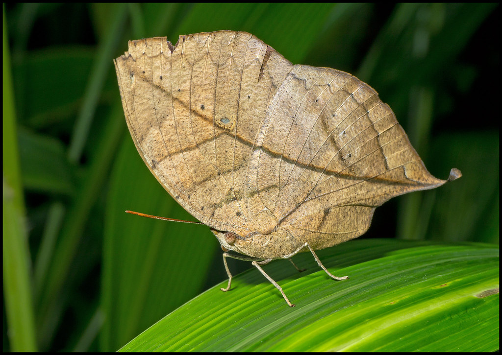 Indian Leaf Butterfly 11-10-12