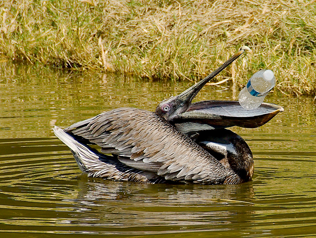 Brown Pelican (Pelecanus occidentalis)_8
