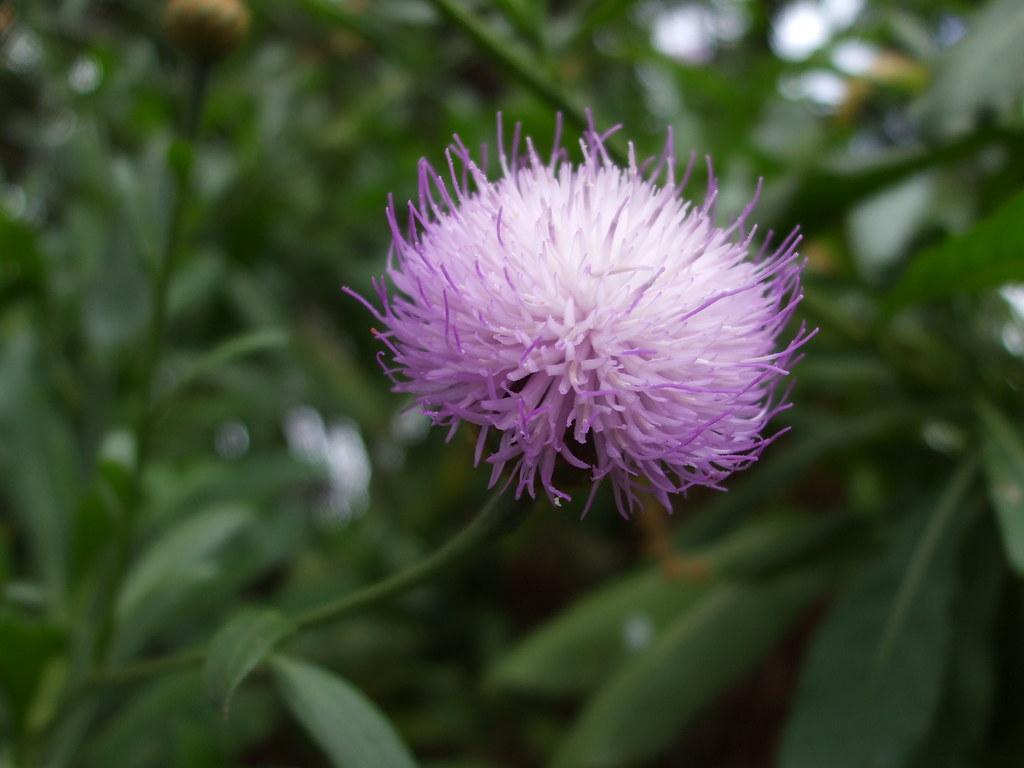 Purple fuzzy ball flower i decided to add some of my favor flickr purple fuzzy ball flower by origann mightylinksfo