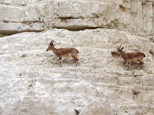 A Pair of Firm Footed Ibexes climbing cliff face - in Israel