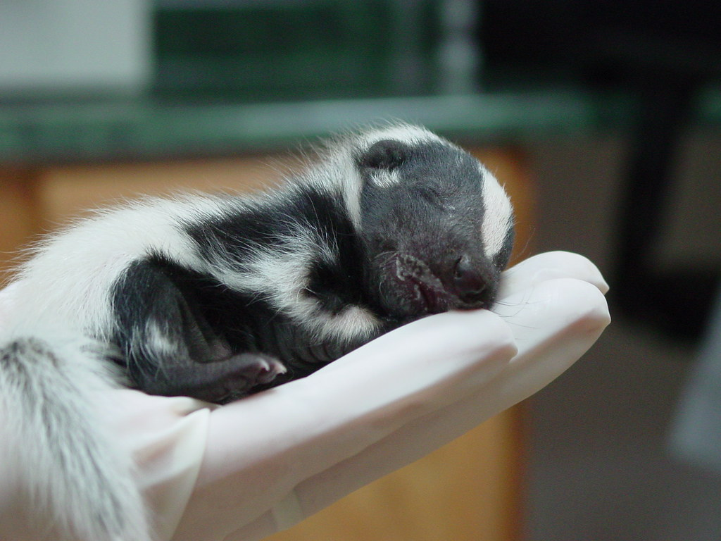 sleeping baby skunk | Little River Canyon National ...