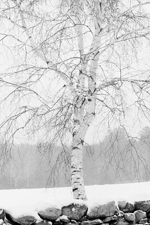 birch in snow | by Fresh New England