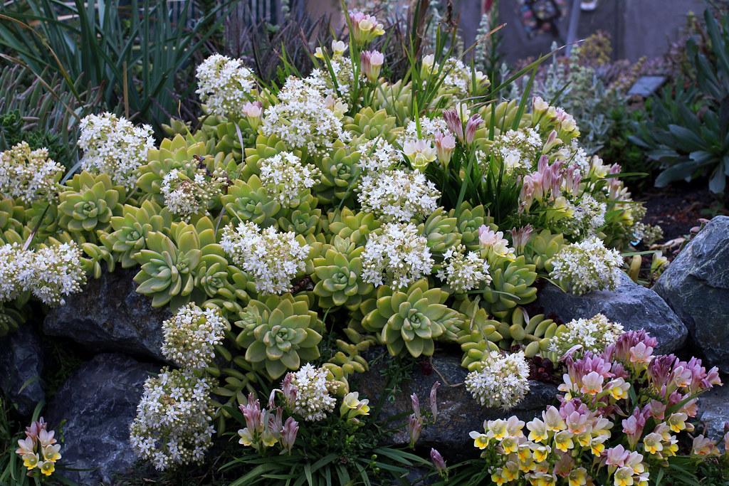 Sedum Adolphii Sedum x Adolphii Blooming