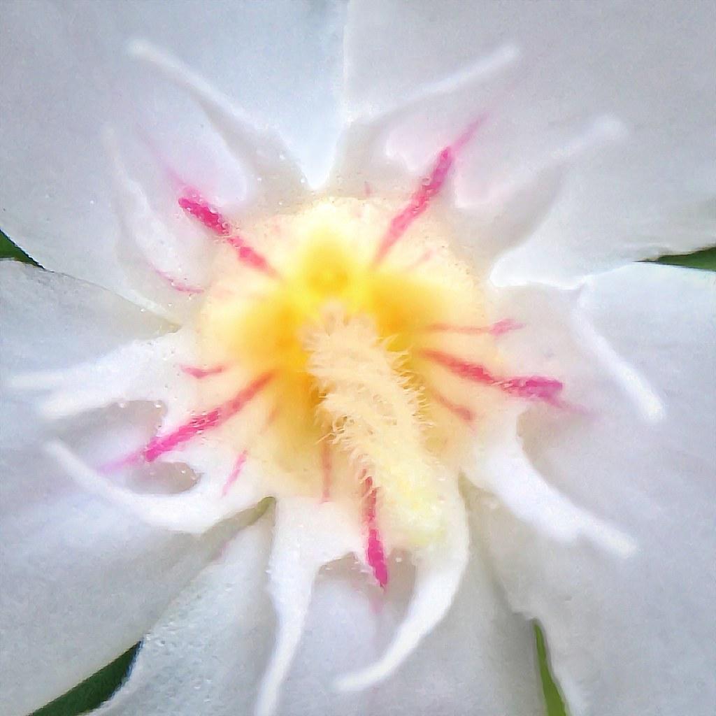 White Oleander Flower Nerium Oleander Cultivar 2013031 Flickr