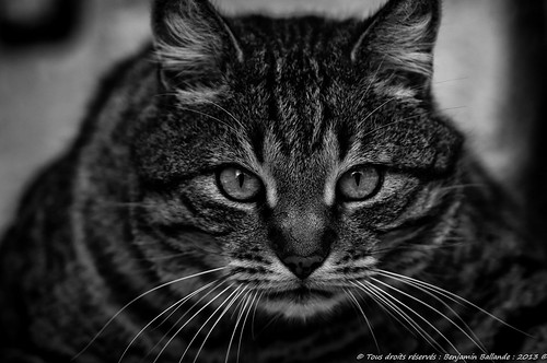 Cat portrait | by Benjamin Ballande