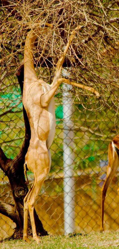 Gerenuk (Litocranius walleri)_1