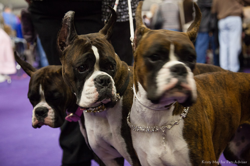 Westminster Dog Show  Tv Time Warner Cable Brooklyn Fs