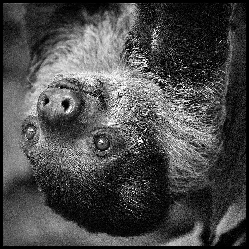 Sloth Hanging Upside Down Upside Down Sloth