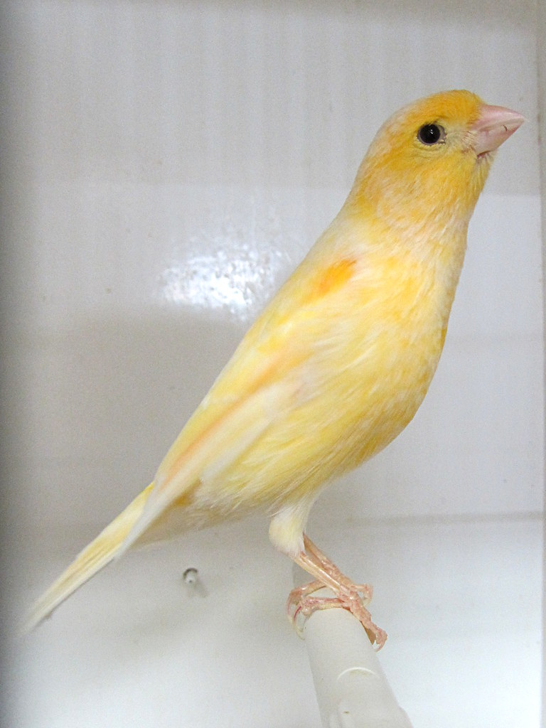 American singer canary