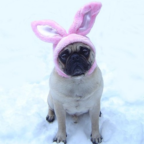 Funny Pug Easter Bunny | by DaPuglet
