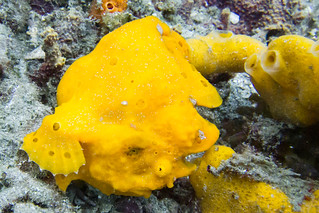 Painted Frogfish | by Photocritic.org