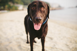 BB the Chocolate Lab | by dave.see