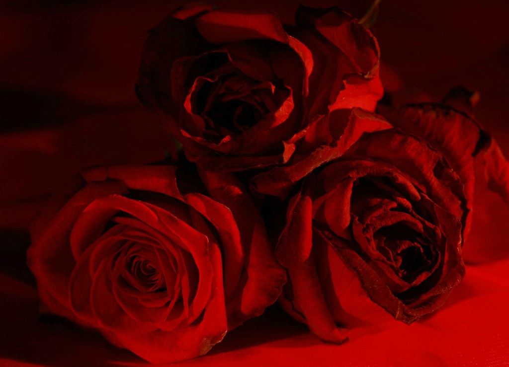 my love is like a red red rose essay My love is like a red, red rose lyrics: oh, my love is like a red, red rose / that's newly sprung in june / oh, my love is like a melody / that's sweetly played in tune / as fair art thou, my bonny lass / sae deep in.