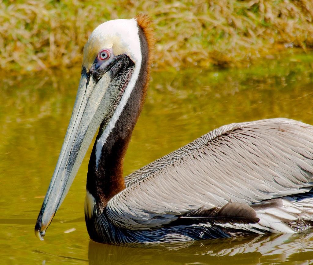 Brown Pelican (Pelecanus occidentalis)_3