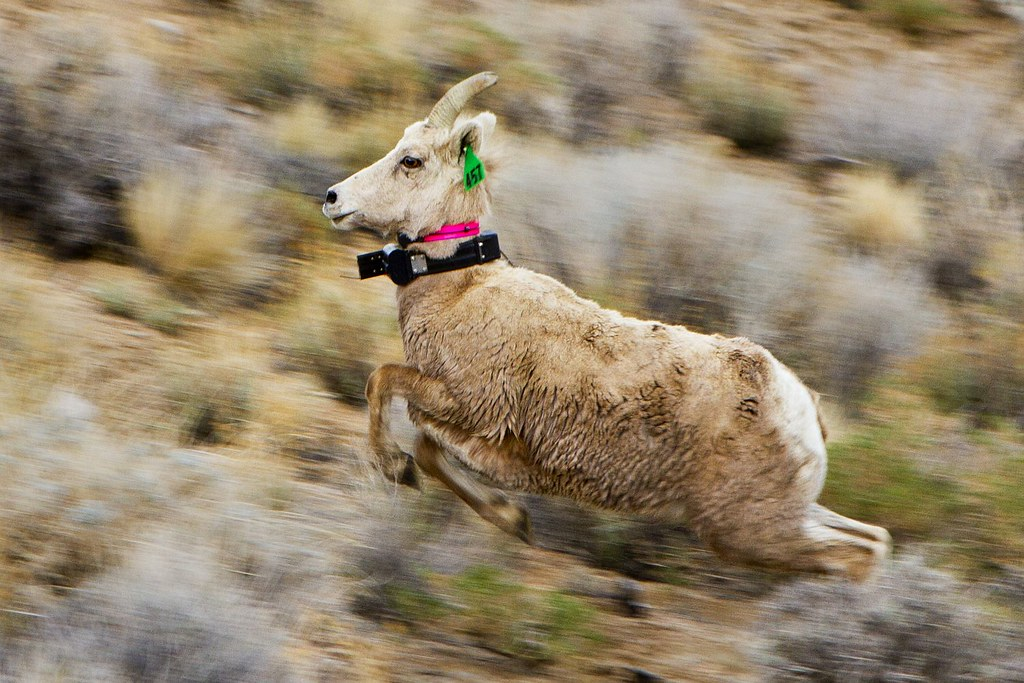 Sierranevadaewerunningwithcollar ewe released at olancha for California department of fish and wildlife jobs