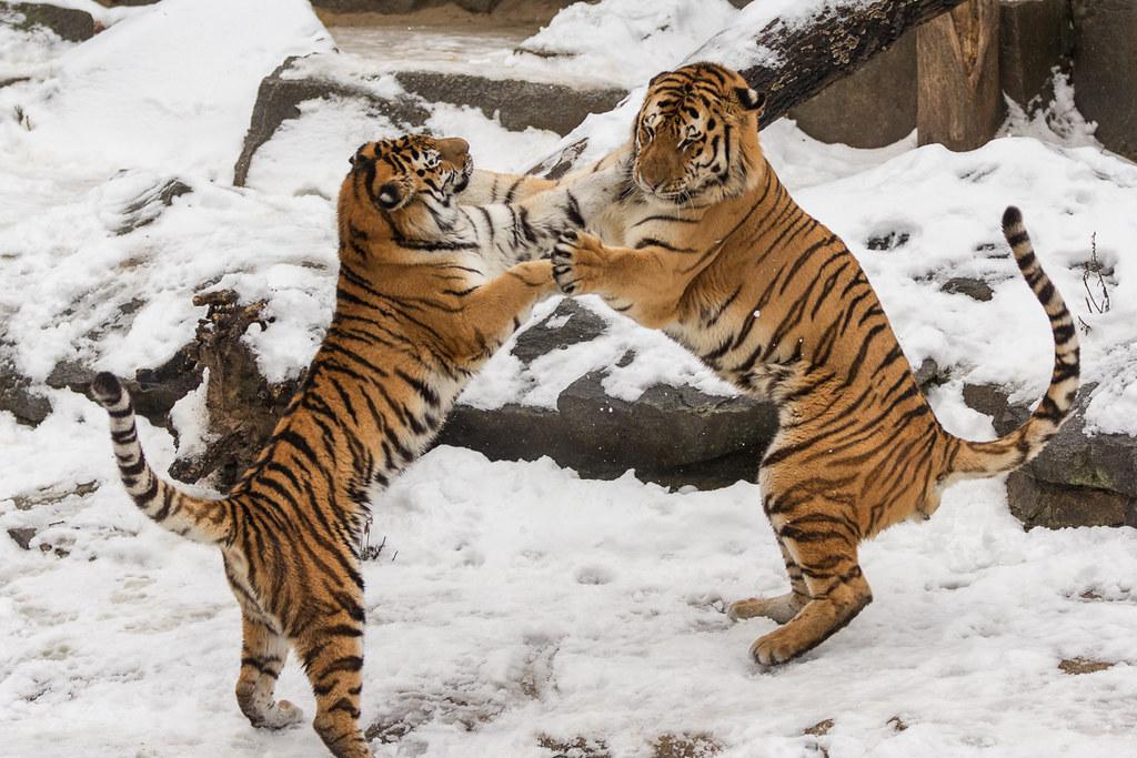 Kämpfende Tiger i...
