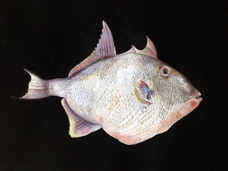 balistes capriscus   grey tiggerfish