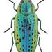 Lamprodila mirifica (Mulsant, 1855) ♀