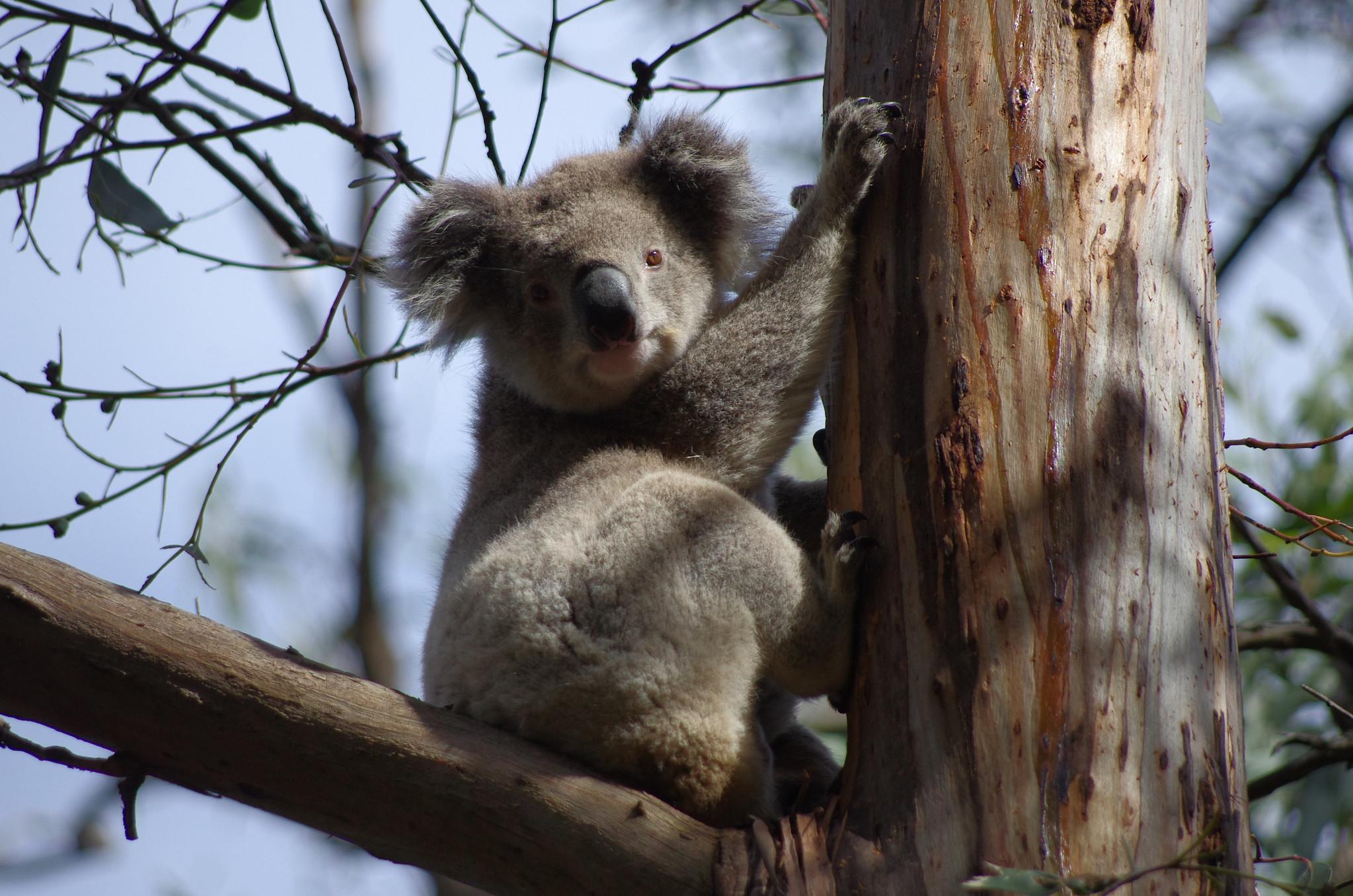 Koala de Kennett River
