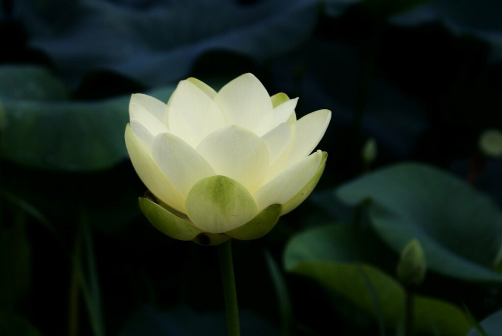 white lotus  lotus info  large  my  video  my gro…  flickr, Beautiful flower