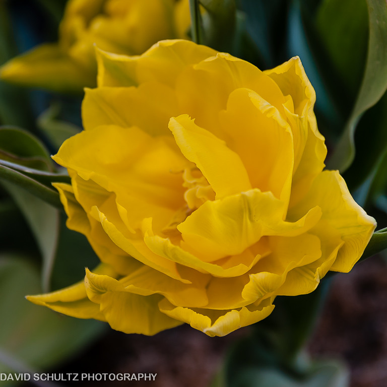Yellow Tulip According To Proflowerscom The Meaning Of Y Flickr