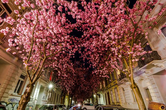 cherry blossom trees bonn germany flickr photo sharing
