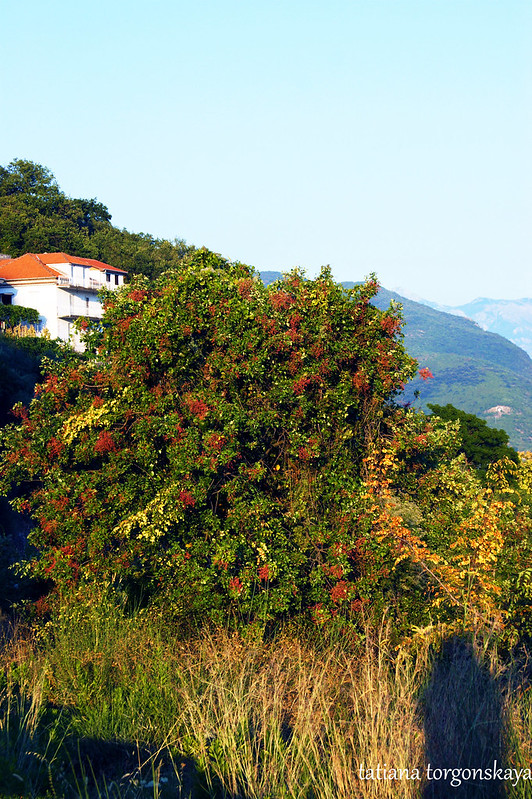 Пейзаж с деревом фисташки туполистной