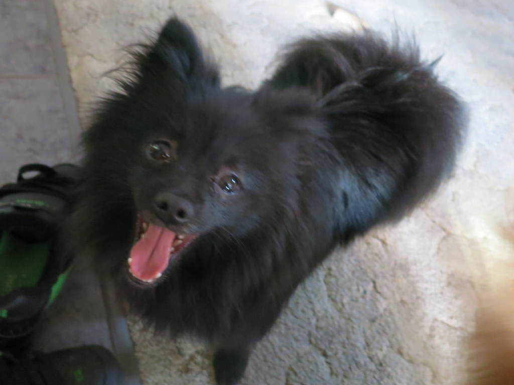 Cutest Pomeranian Papillon Mix Ever Da Booz 3 My Dogs Flickr