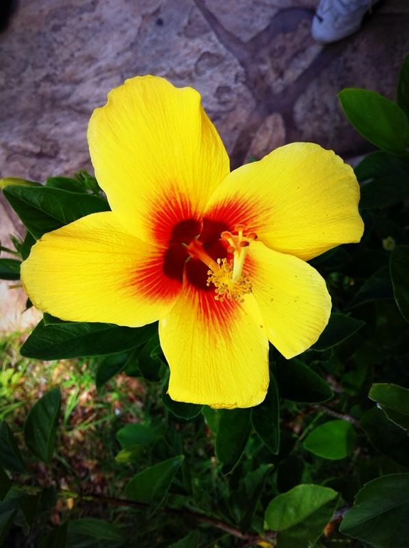 orange yellow hibiscus hawaii state flower pua aloalo flickr