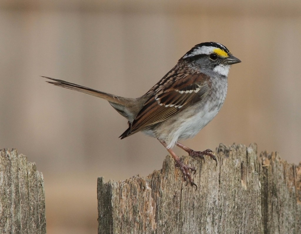 throated sparrow one of my many backyard birds now flickr