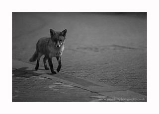 Urban Fox - Vulpes vulpes | by Jamie Hall Photography