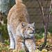 Stretching female lynx