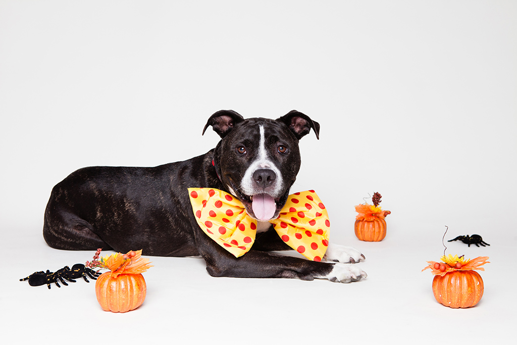 pit bull dog with halloween decorations by found animals