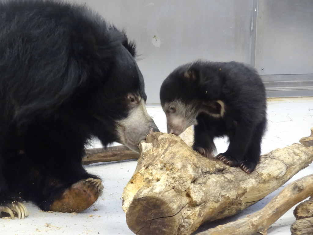 Smithsonian's National Zoo's 3-Month-Old Sloth Bear Cub is ...