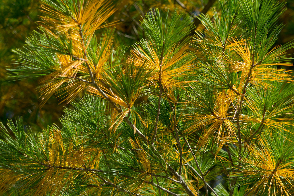 Yellow Pine Tree Pine Tree Needles Early