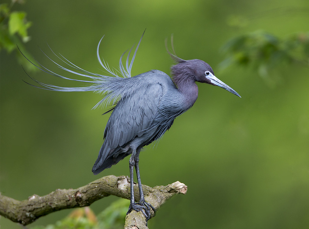 Little blue heron jefferson island darlene boucher - Animal and bird hd wallpaper ...