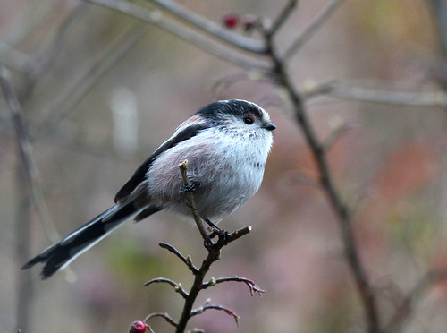 Long-Tailed Tit on Cotoneaster | by KingfisherDreams