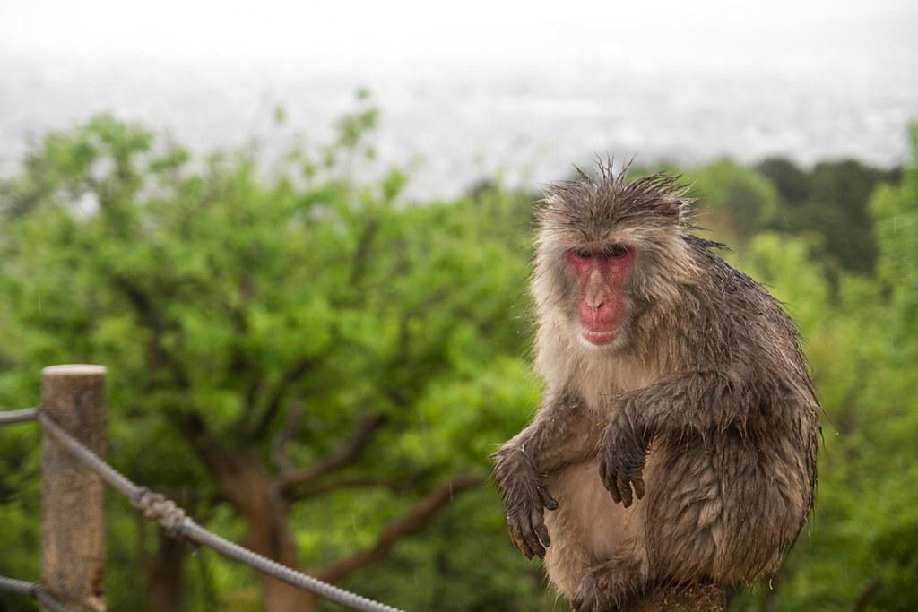 Iwatayama Monkey Park_47  Rachel  Flickr