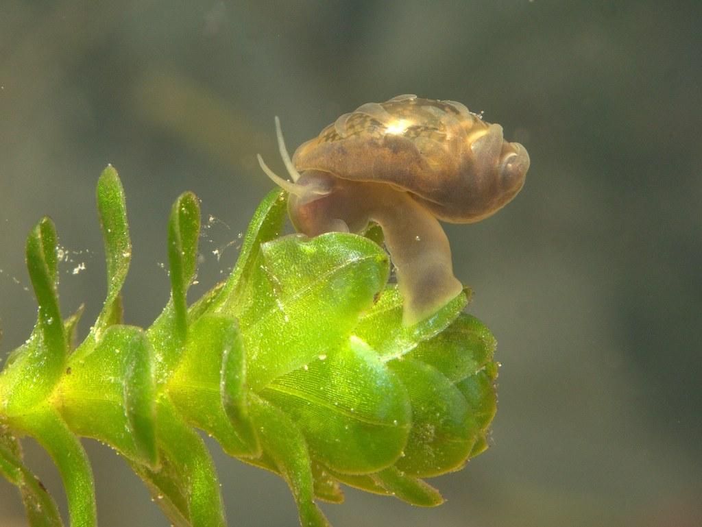 Растение водяная чума
