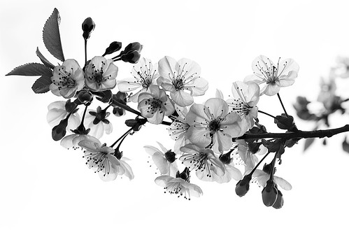 Sakura - Black & White | Cherry blossoms in spring. | Flickr