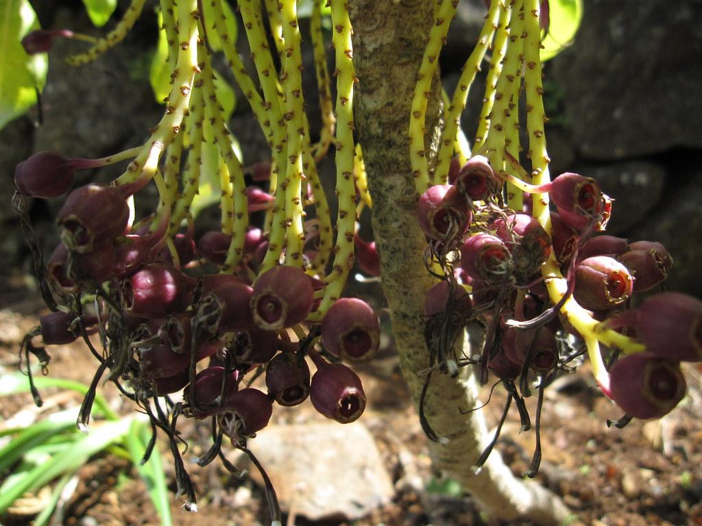 Cyanea hardyi | Limahuli Garden, National Tropical Botanical… | Flickr