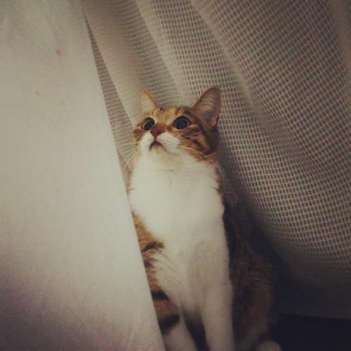 パパ下僕が帰ってきたからハイテンション。カーテンでかくれんぼ