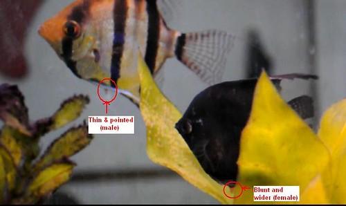 Male Female Angelfish  Vineet Bharmoria  Flickr-7803