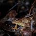 Spring Peeper (Pseudacris crucifer) - on the roadside