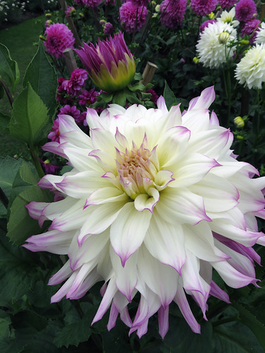 White Dahlias tinged with purple in the Dublin Botanical Garden in Ireland